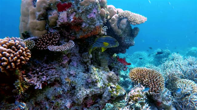 stockvideo's en b-roll-footage met indian ocean oriental sweetlips on colorful coral reef - oceaanbodem