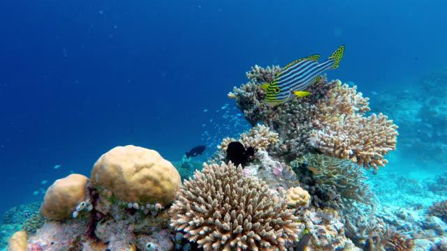 indian ocean oriental sweetlips on coral reef - ari atoll stock videos & royalty-free footage