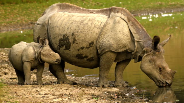 indian one horned rhino (rhinoceros unicornis) and calf drinking water from the river - animal family stock videos & royalty-free footage
