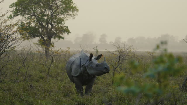 indian one horned rhino (rhinoceros unicornis) grazing and relaxing in the water in slow motion - horned stock videos & royalty-free footage