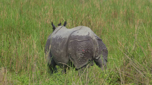 indian one horned rhinocerous with bird on back - wildlife stock videos & royalty-free footage