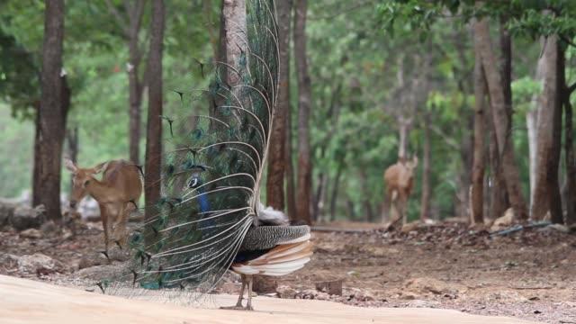 vídeos de stock, filmes e b-roll de indian peacock with deers in background. - doe