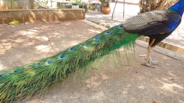 Indische Pfirsil.