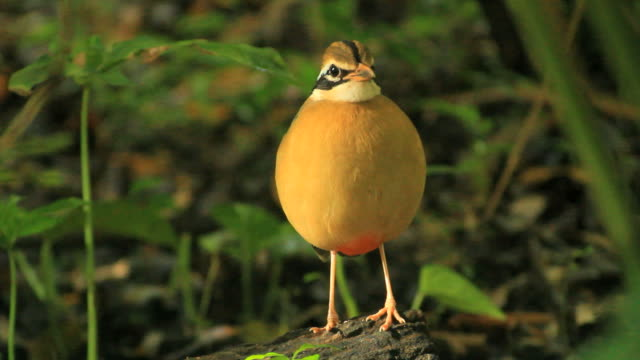 Indian pitta (Pitta brachyura)standing still in dense forest,a passerine bird native to the Indian subcontinent