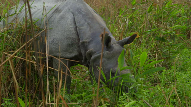 indian rhino grazing in tall grass - grass area stock videos & royalty-free footage