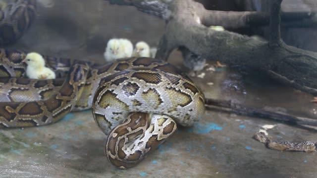 indian rock pythons eat baby chickens at bangladesh national zoo in dhaka. - 丸くなる点の映像素材/bロール