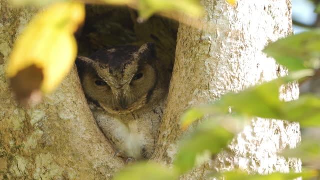 インディアンスコップフクロウ、巣穴に止まっている(スリランカ) - camouflage点の映像素材/bロール