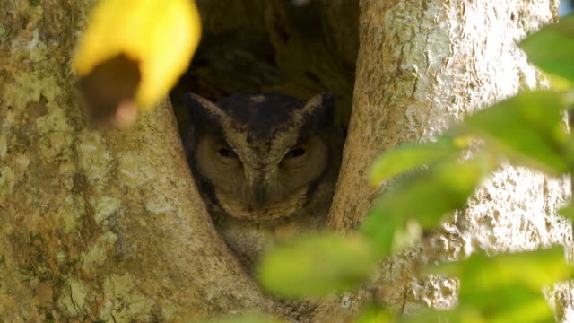 indian scops owl, perched in a nesting hole (sri lanka) - camouflage stock videos & royalty-free footage