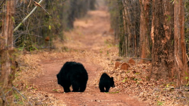 indian sloth bear mother and cub foraging in indian forest - bear cub stock videos and b-roll footage