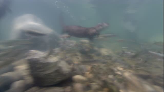 indian smooth coated otters chase a shoal of fish. available in hd. - otter stock videos & royalty-free footage