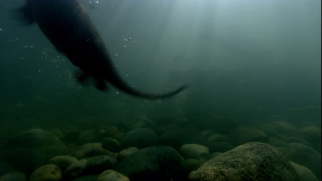 indian smooth coated otters hunt a school of fish through sun-dappled water. available in hd. - otter stock videos and b-roll footage