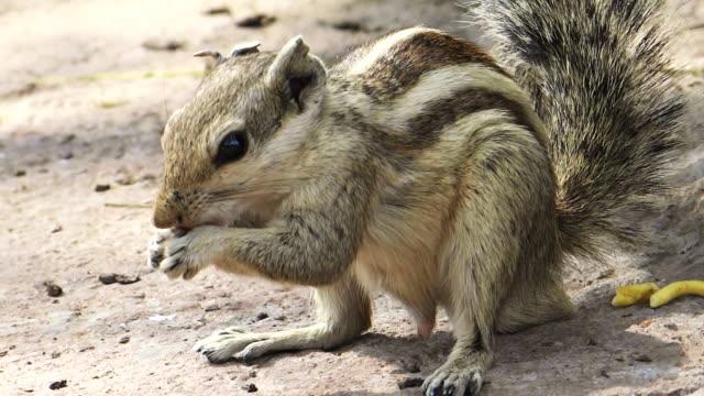 Indian squirrel eating