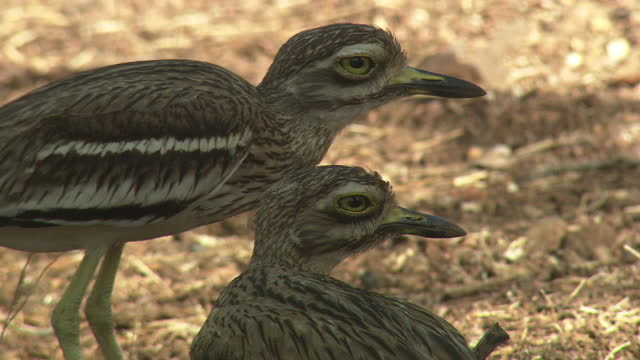 indian stone-curlew couple - sequential series stock videos & royalty-free footage
