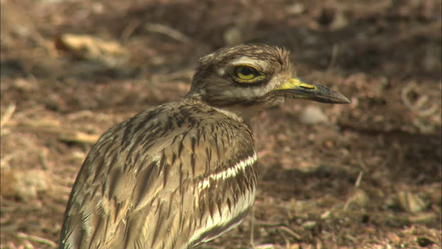indian stone-curlew - biodiversity stock videos & royalty-free footage