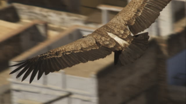 CU Indian vulture flies and glides from camera over houses in Jodhpur
