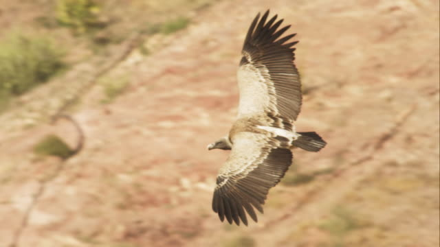 ha cu indian vulture glides over open ground looking up - vulture stock videos & royalty-free footage