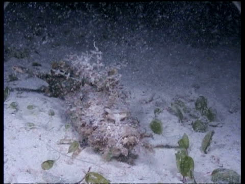 cu indian walkman/devilfish catches and eats 2 fish at night, malaysia - mabul island stock videos and b-roll footage