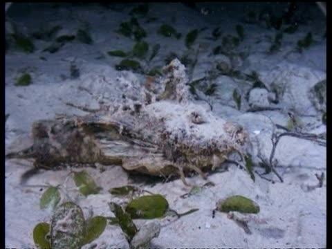 cu indian walkman/devilfish walking across seafloor at night, malaysia - mabul island stock videos and b-roll footage