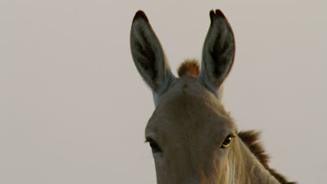 indian wild ass eyes and ears - close up - herbivorous stock videos & royalty-free footage