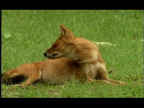 indian wild dog (cuon alpinus) snaps at fly, bandipur, nagarahole, india - zuschnappen stock-videos und b-roll-filmmaterial