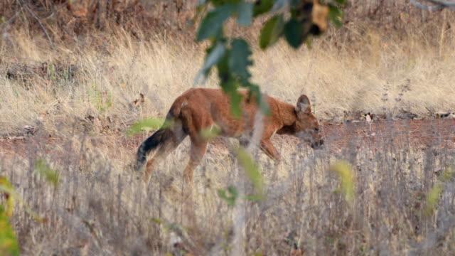 インド中部の森の中でインドの野生の犬やドホール - ドール点の映像素材/bロール