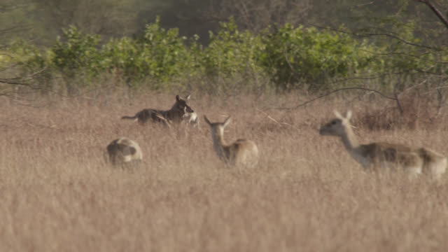 Indian wolf (Canis lupus) carries blackbuck fawn prey over grassland, Velavadar, India