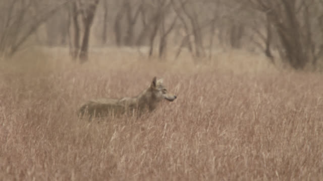 Indian wolf (Canis lupus) prowls past blackbuck antelope (Antilope cervicapra), Velavadar, India