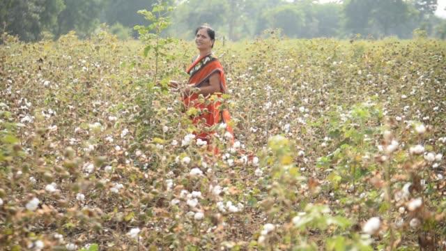 indian woman  harvesting cotton in a cotton field, maharashtra, india. - maharashtra stock-videos und b-roll-filmmaterial