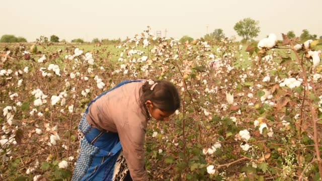 indian woman harvesting cotton in a cotton field, maharashtra, india. - indian ethnicity点の映像素材/bロール