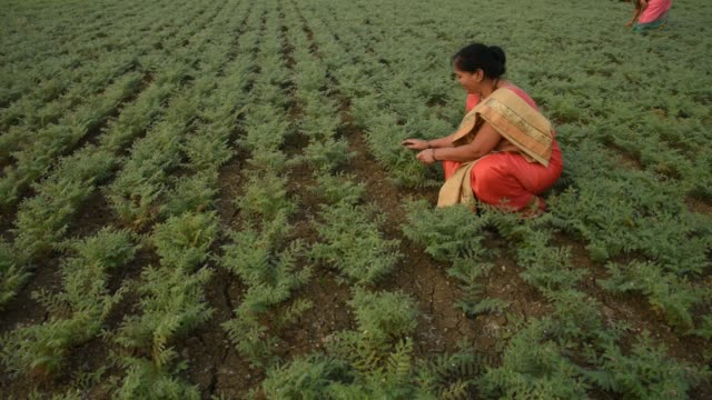indian woman in traditional cloth working at chickpea field - modest clothing stock videos & royalty-free footage