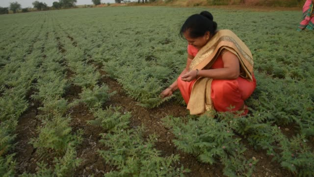 indian woman in traditional cloth working at chickpea field - モデスト・ファッション点の映像素材/bロール