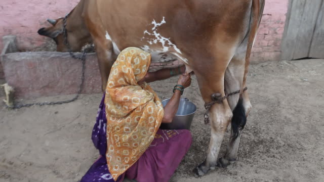 indian woman milking cow in a village - livestock stock videos and b-roll footage
