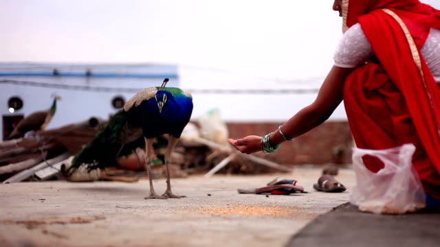 indian women giving food to peacock at home - becco video stock e b–roll