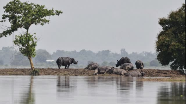 india's kaziranga national park home to two thirds of the world's one horned rhinos is largely underwater due to monsoon rains - horned stock videos & royalty-free footage