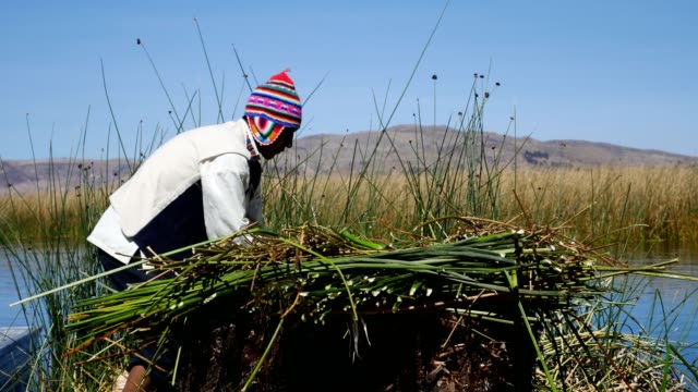 indigenous man working with freshly cut totora in puno, peru - reed grass family stock videos & royalty-free footage