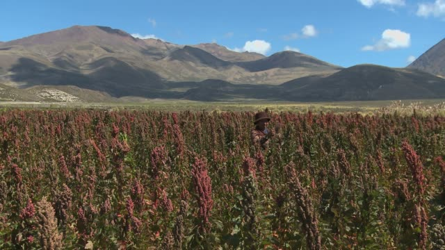 stockvideo's en b-roll-footage met indigenous woman in quinoa fields checking plants in bolivian upland with nice sky and mountains profile in the background - bolivia