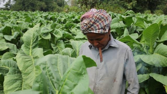 indigenous women smokes during work at a tobacco field in hill district of bandarban bangladesh tobacco cultivation in bandarban hill district of... - kurbits bildbanksvideor och videomaterial från bakom kulisserna