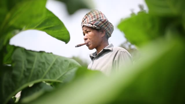indigenous women smokes during work at a tobacco field in hill district of bandarban bangladesh tobacco cultivation in bandarban hill district of... - gourd stock videos & royalty-free footage