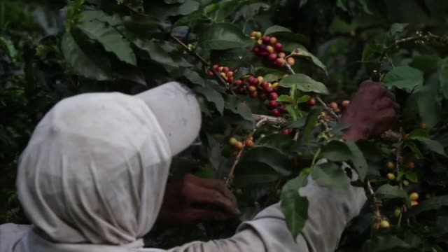 Indigenous workers tend to Colombia's traditional coffee harvest in the largest haciendas in the north western region of Antioquia