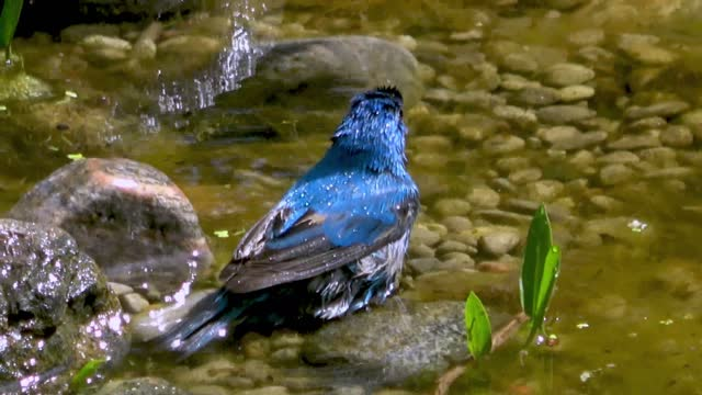 indigo buntings are one of the most vibrant and beautiful birds in north america. bird watchers and nature enthusiasts take extreme delight in... - take that stock videos & royalty-free footage