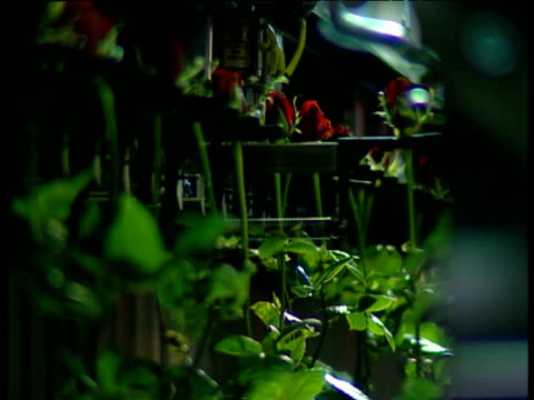 individual red roses are slotted into moving rack mechanical arm rotates with bunch of roses and places it on conveyor belt for cellophane wrapping - cellophane stock videos and b-roll footage