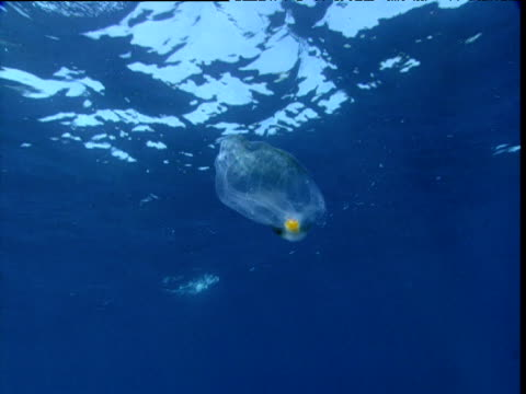 individual salp drifts in open water, california - sea squirt stock videos & royalty-free footage