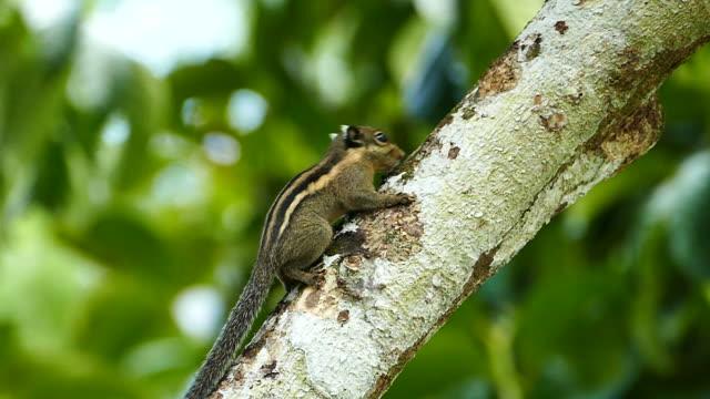vidéos et rushes de écureuil terrestre d'indochine - partie du corps d'un animal