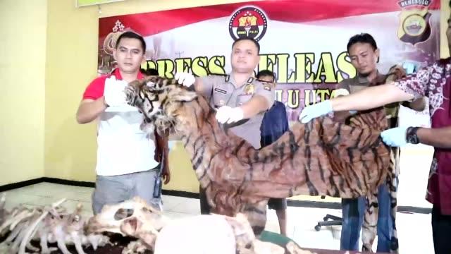 vídeos y material grabado en eventos de stock de indonesian authorities arrest two men on suspicion of poaching sumatran tigers and seized a skin and bones taken from one of the rare animals - isla de sumatra