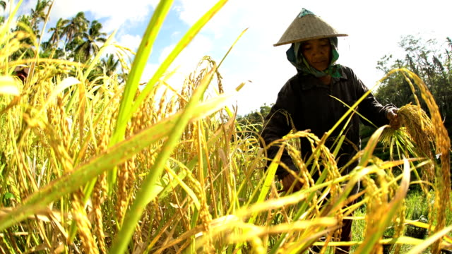 indonesian female worker picking rice from hillside field - bamboo plant stock-videos und b-roll-filmmaterial