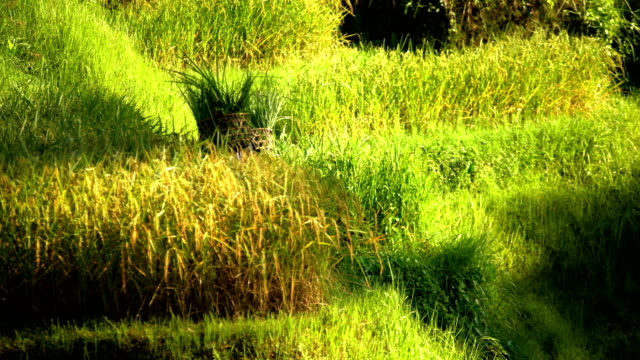 vidéos et rushes de indonesian male manual worker on hillside rice field - bamboo plant