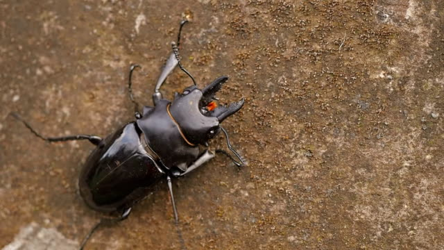Indonesian stag beetle close-up