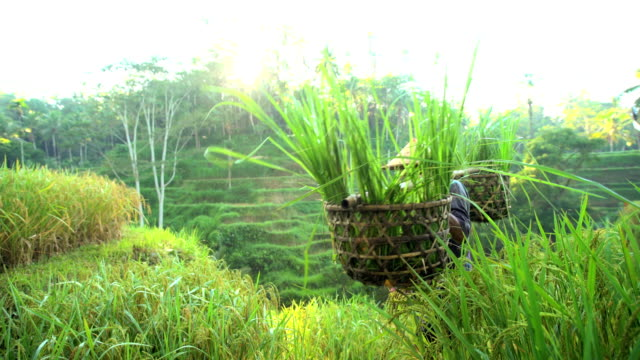 vidéos et rushes de indonesian traditional male worker on hillside rice field - bamboo plant