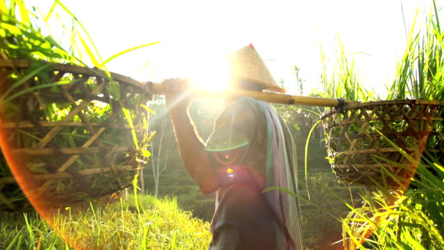 indonesian traditional male worker on hillside rice field - rice stock videos & royalty-free footage