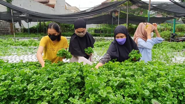 indonesians harvest vegetables from a hydroponics system at kebun sayur surabaya hydroponics farm on june 18, 2021 in surabaya, indonesia.... - agriculture stock videos & royalty-free footage